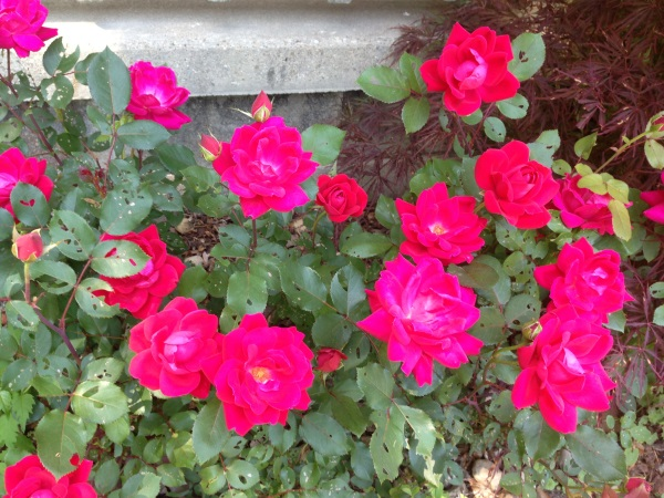 how to get rid of bugs on plants and rose bushes