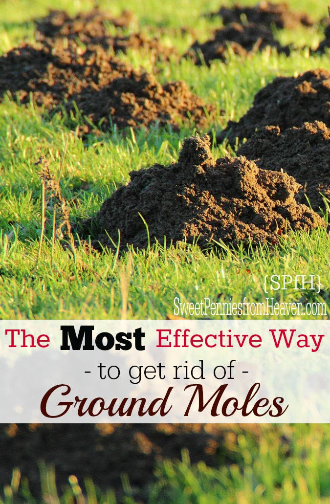 How To Get Rid Of Ground Moles The Most Effective Way